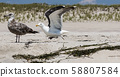 Seagull starting to fly off the sand with dunes in 58807584