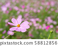 ดอกไม้สีชมพูคอสมอสในทุ่งดอกไม้ 58812856