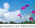 ดอกไม้จักรวาลสีชมพูเข้มภายใต้ท้องฟ้าสีฟ้า 58812858