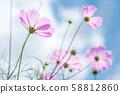 ดอกไม้สีชมพูคอสมอสภายใต้ท้องฟ้าสีคราม 58812860
