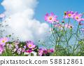 ดอกไม้สีชมพูคอสมอสภายใต้ท้องฟ้าสีคราม 58812861