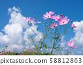 ดอกไม้สีชมพูคอสมอสภายใต้ท้องฟ้าสีคราม 58812863