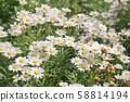 White daisy flower. 58814194