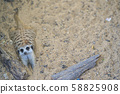 Adorable and furry meerkats rolling around and 58825908