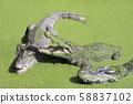 Many large crocodiles in a pond with green duckweed on a Thai crocodile farm. 58837102