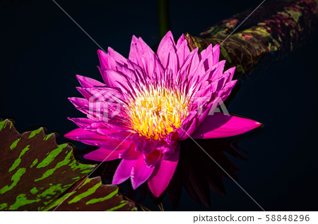 Isolated water lily closeup at summer day 58848296