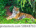 bengal tiger resting in forest 58848763