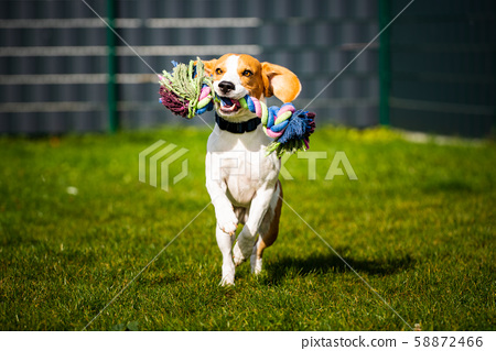 Beagle dog jumping and running like crazy with a 58872466