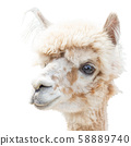 Portrait of an Alpaca lama isolated smiling on a white 58889740