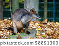 Swamp Wallaby, Wallabia bicolor, is one of the 58891303