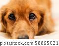 腊肠狗在床上 58895021