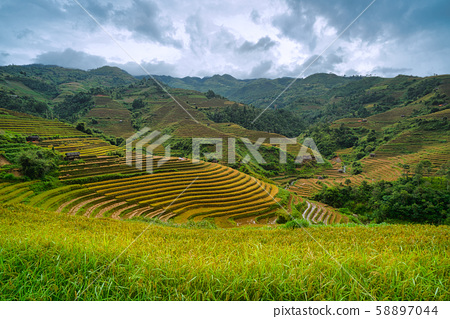 Terraced rice field in harvest season in Mu Cang 58897044