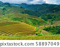 Terraced rice field in harvest season in Mu Cang 58897049