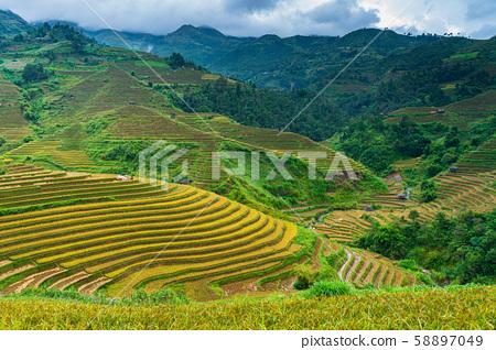 Terraced rice field in harvest season in Mu Cang 58897049