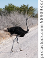 Ostrich crossing the Road in Etosha 58909337