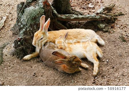 兔子家族(兔子島,奧之島) 58916177