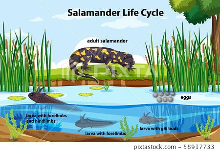 Diagram showing salamander life cycle 58917733