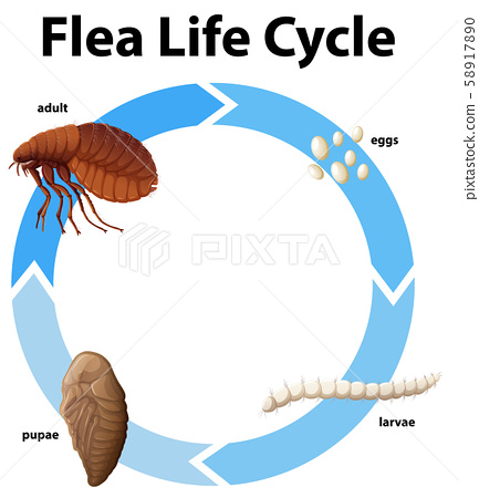 Diagram showing life cycle of flea 58917890