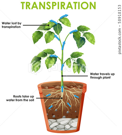 Diagram showing transpiration cycle 58918153