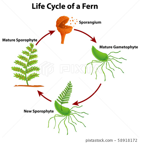 Diagram showing life cycle of fern 58918172
