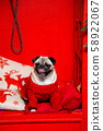Dog breed pug dressed in red woolen sweater is posing over red New year background. 58922067