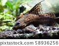 Aquarium with brown camouflage Catfish. Synodontis nigriventris blotched upside-down african 58936256