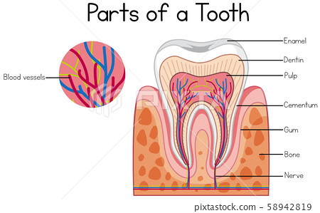 Parts of a tooth diagram 58942819