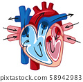 Human Heart and Blood Vessel 58942983