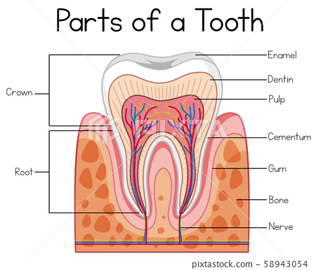 Parts of a Human Tooth 58943054