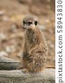 closeup of meerkat standing on tree trunk 58943830