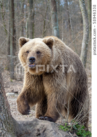 The brown bear , walking in the forest 58946338