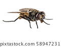 House fly on white background 58947231