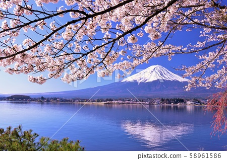 Fuji and cherry blossoms in full bloom 58961586