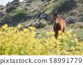 動物,馬,濟州島,油菜花 58991779