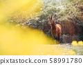 動物,馬,濟州島,油菜花 58991780