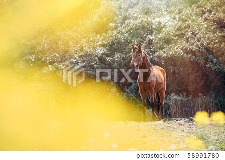 동물, 말, 제주도, 유채꽃, 조랑말, 한국풍경 58991780