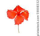 Red hibiscus flowers on white background 59008332