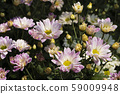 Chrysanthemum Pink Flower at the Greenhouse farm. 59009948