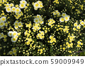 Chrysanthemum White and Yellow Flower at the Greenhouse farm. 59009949