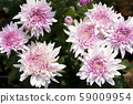 Chrysanthemum Pink Flower at the Greenhouse farm. 59009954