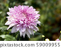 Chrysanthemum Pink Flower at the Greenhouse farm. 59009955