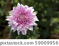 Chrysanthemum Pink Flower at the Greenhouse farm. 59009956