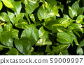 Green leaves background, Spotted betel background and wallpaper 59009997