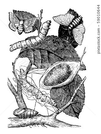 Larva Pupa Cocoon and Moth of Silkworm vintage 59010644