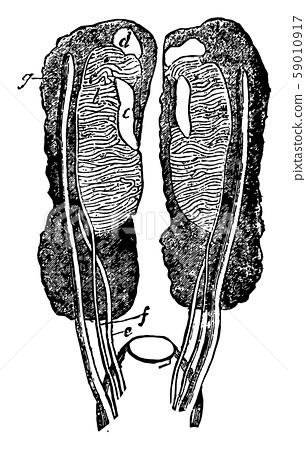 Female Uro genital Organ vintage illustration. 59010917