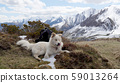Pyrenean Mountain Dog 59013264