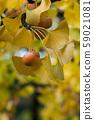 Closeup of autumnal ginkgo biloba leaves  59021081