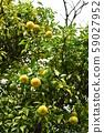 柚子 59027952