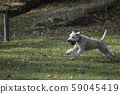 White dog running 59045419