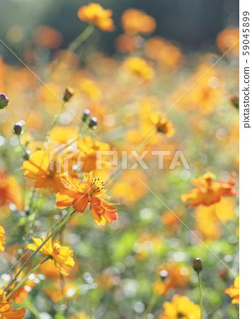 노랑 코스모스 꽃밭 쪽 2 세로 구도 59045899